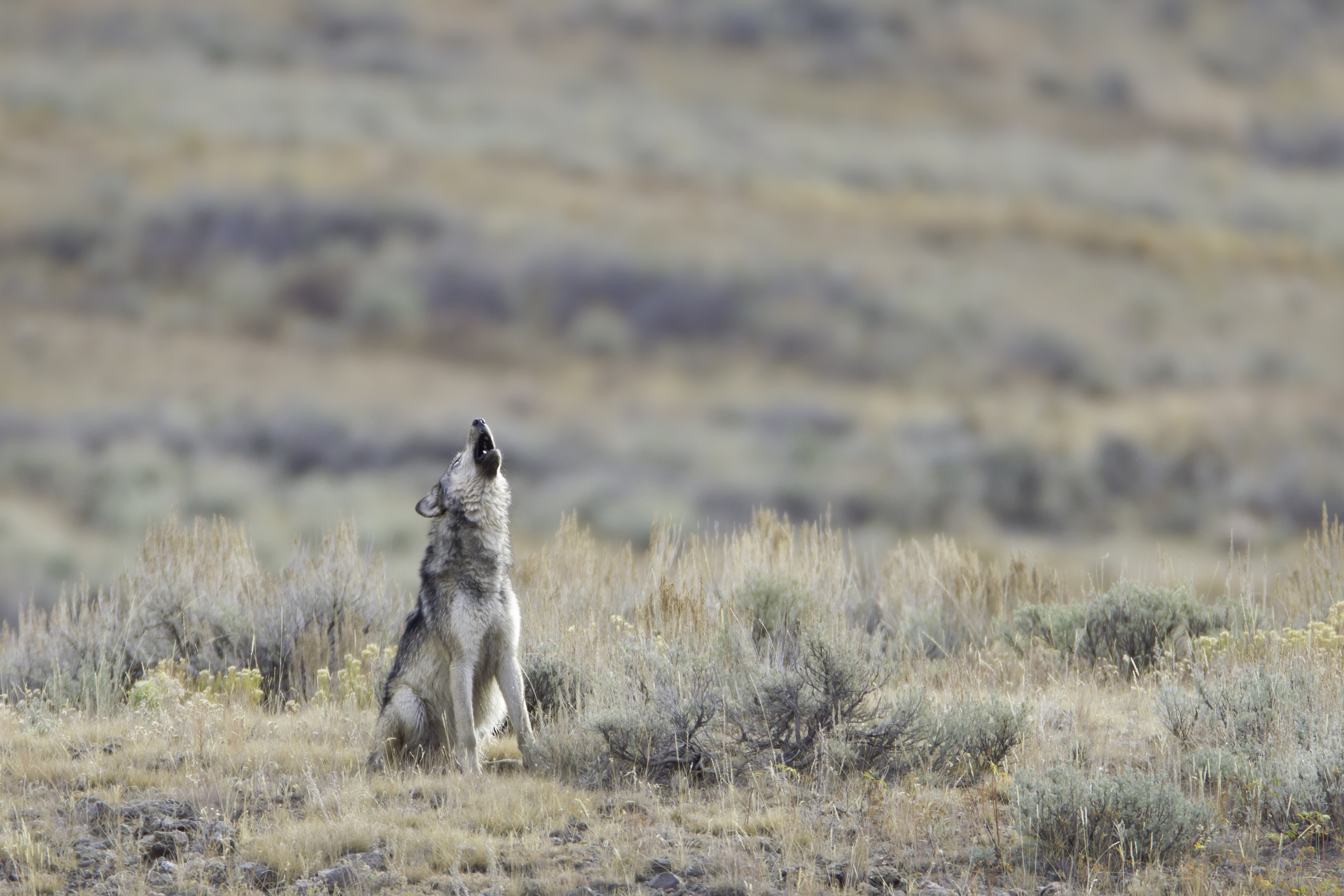 gray wolf howling in lamar valley