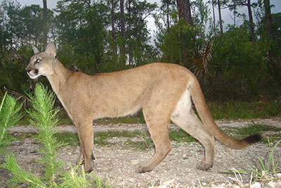 Panther recovery in south Florida