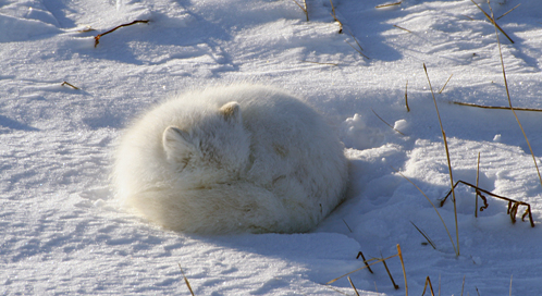 Arctic Fox What You Can Do To Help Arctic Foxes Defenders Of