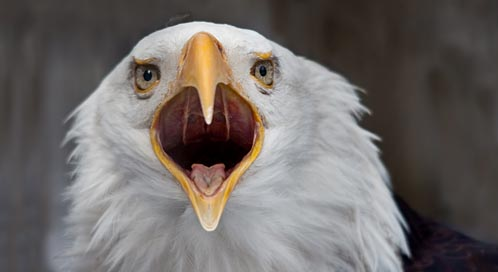 basic facts about bald eagles defenders of wildlife