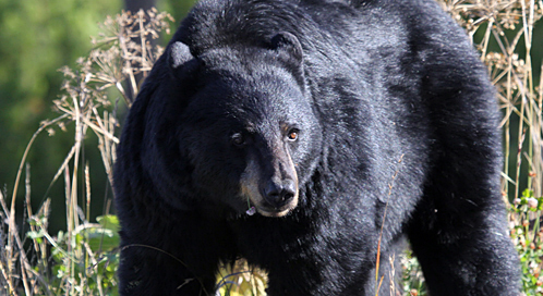 Basic Facts About Black Bears Defenders Of Wildlife