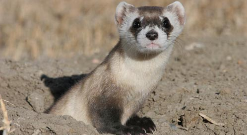 Black Footed Ferret, Photo: U.S. Geological Survey