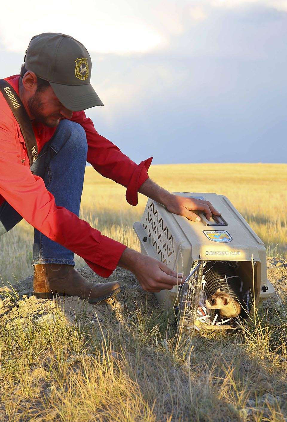 Black-Footed Ferret released