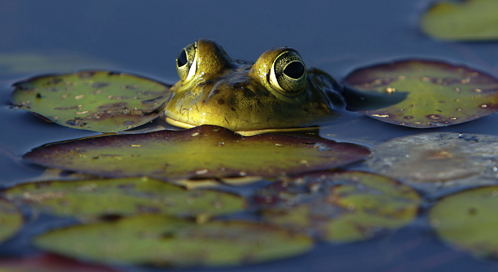 basic facts about frogs defenders of wildlife