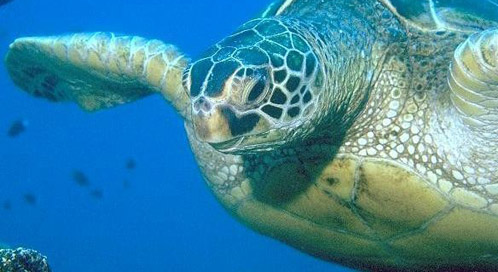 Green Sea Turtle, © NOAA