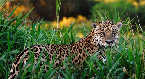 jaguar basic facts about jaguars defenders of wildlife. Black Bedroom Furniture Sets. Home Design Ideas