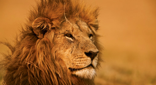 can we save lions defenders of wildlife