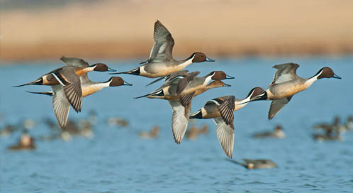 Pintail Ducks, © Tony Bynum / tonybynum.com