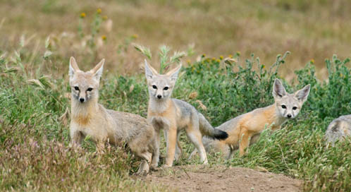 San Joaquin Kit Fox, © Kevin Schaefer / Minden Pictures
