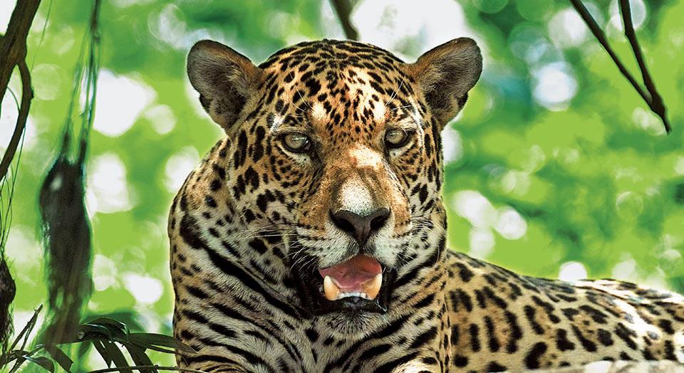 worth defending: jaguar | defenders of wildlife