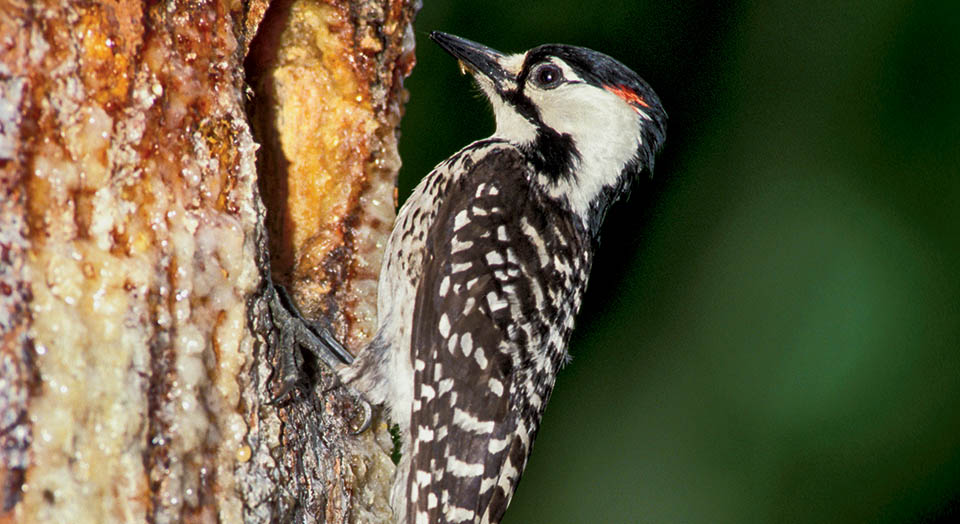Red Cockaded Woodpecker, Photo: SG Maka/Vireo