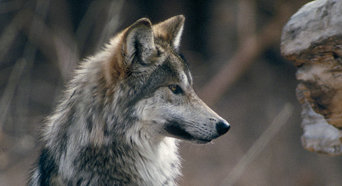 Livin La Vida Lobo Defenders Of Wildlife