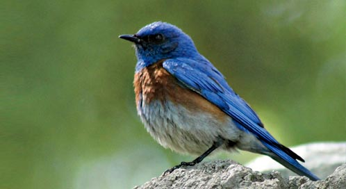 Bluebird, ©‎ Sarah Stierch (Flickr)