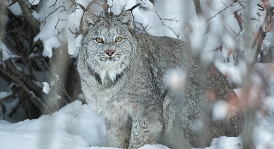 Canada Lynx, © Peter Mather/National Geographic Creative