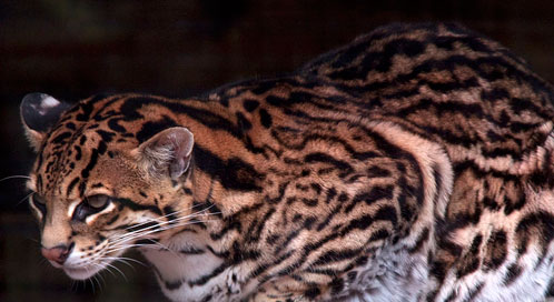 Ocelot, Photo: Tony Hisgett/ Wikimedia Commons