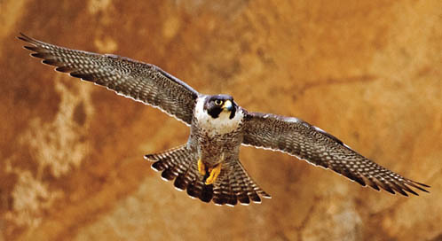 Peregrine Falcon, © Flickr user KevinCole