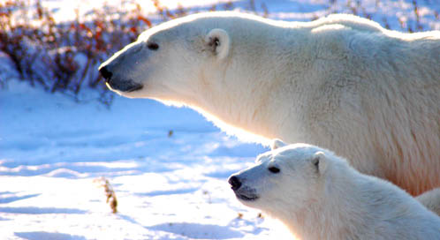 Polar Bear Basic Facts About Polar Bears Defenders Of Wildlife