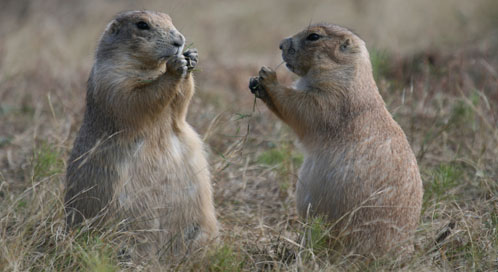Prairie Dog Basic Facts About Prairie Dogs Defenders of Wildlife