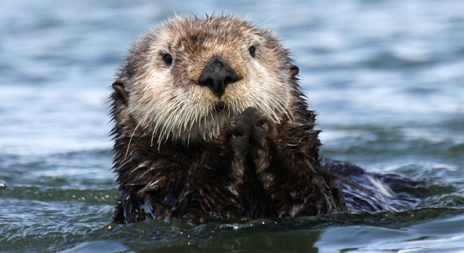 Sea otter, © Douglas Childs