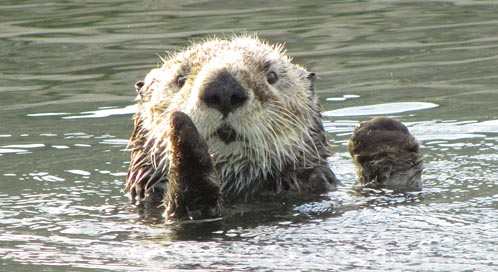 Sea Otter Basic Facts About Sea Otters Defenders Of