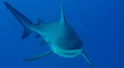 Images Of Sharks Basic Facts About Shar...