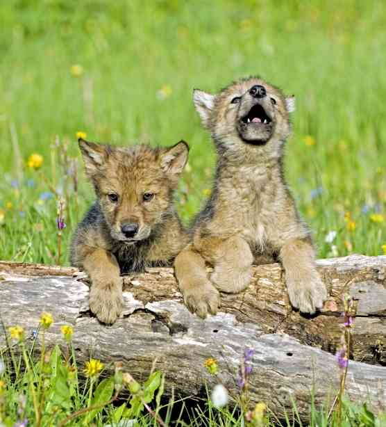 Gray wolf pups with flowers