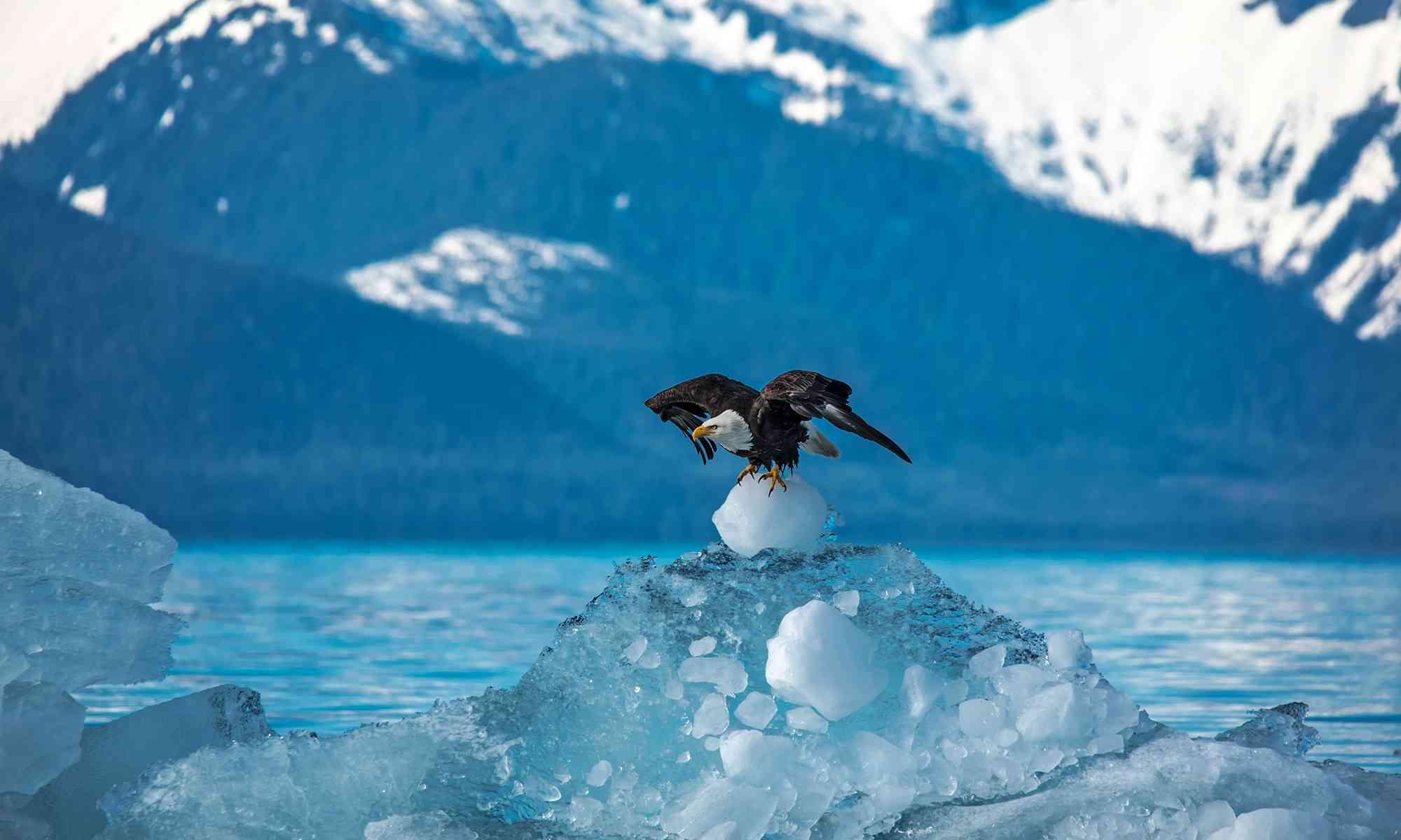 Bald Eagle | Defenders of Wildlife