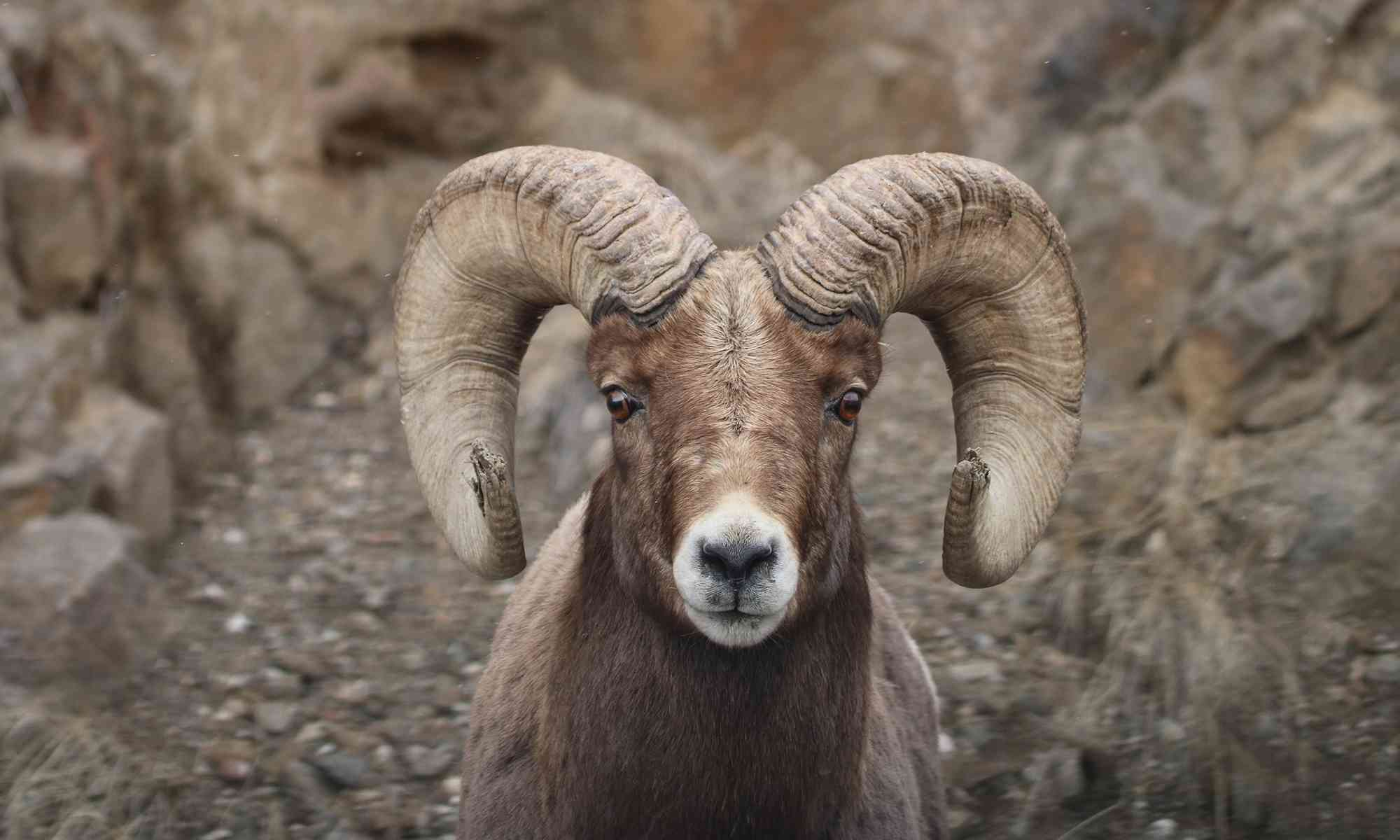 Bighorn Sheep Defenders Of Wildlife