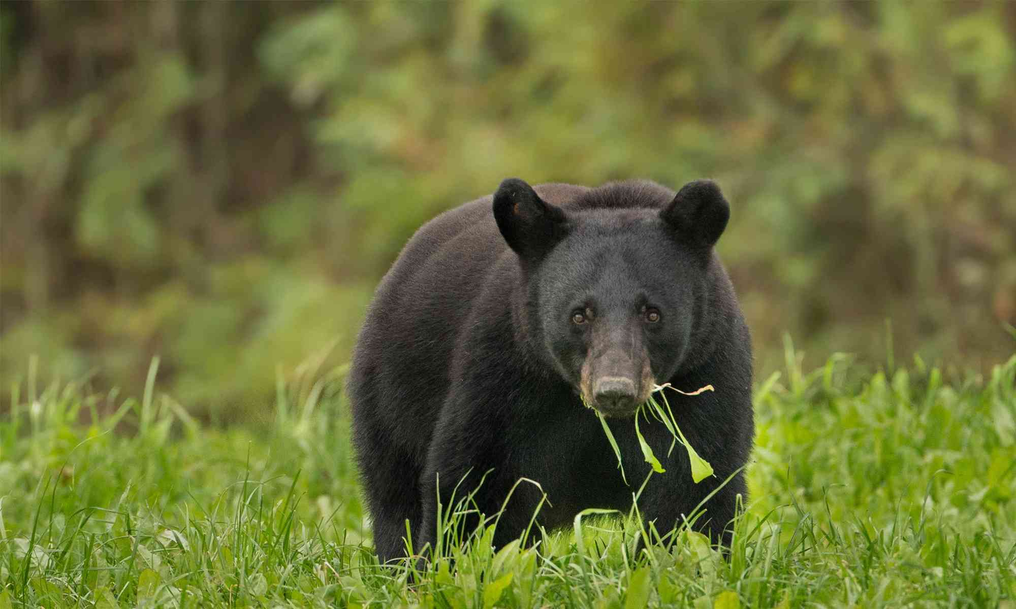 Black Bear | Defenders of Wildlife