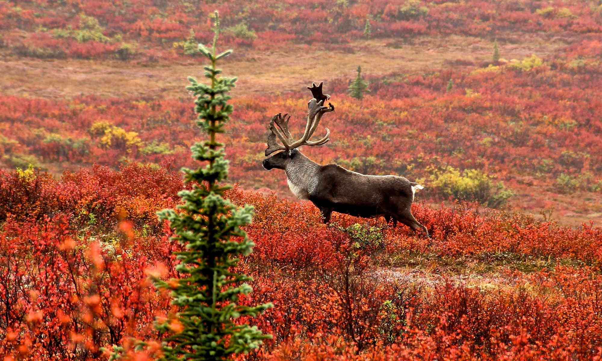 Caribou | Defenders of Wildlife