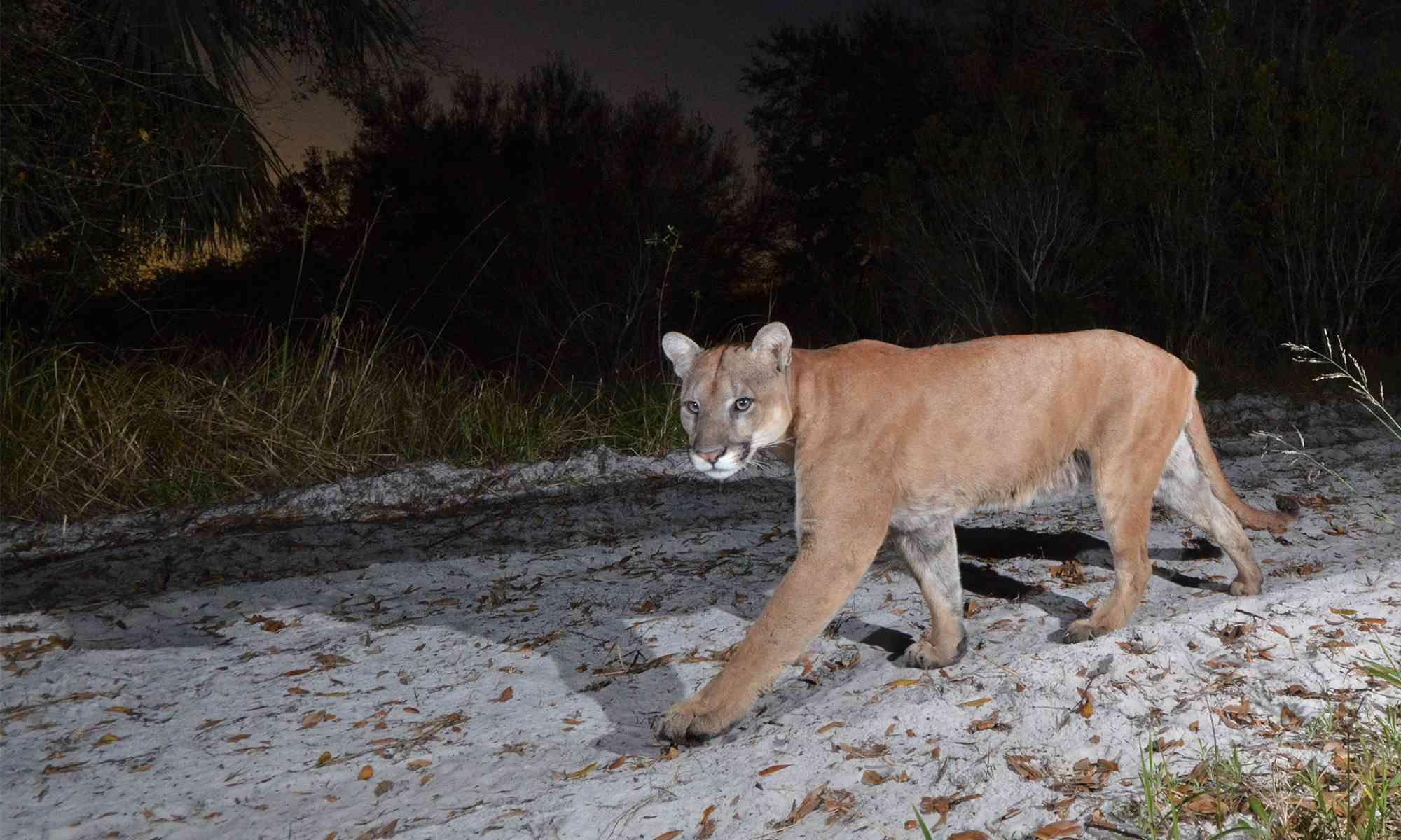 Florida Panther Defenders Of Wildlife