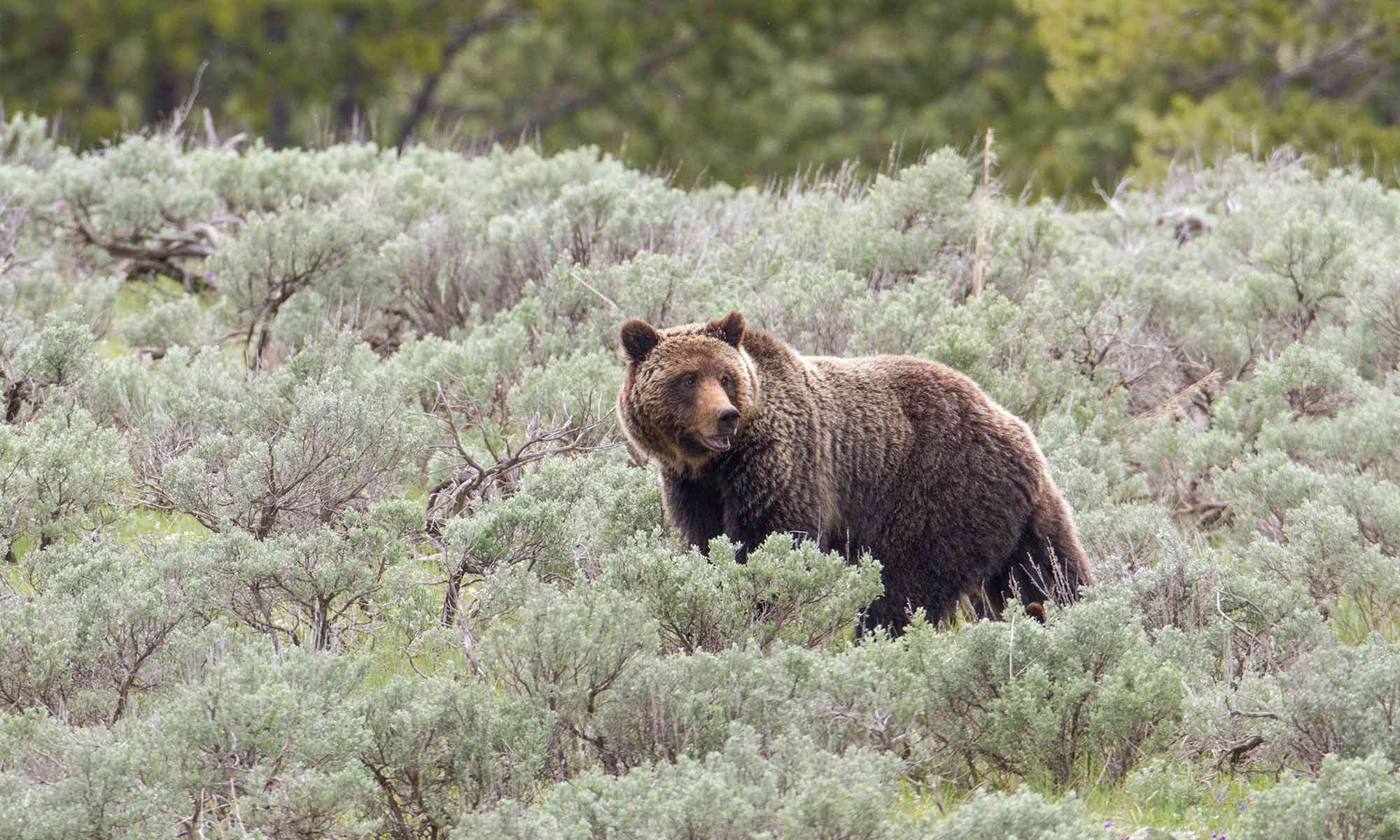 Grizzly Bear | Defenders of Wildlife on