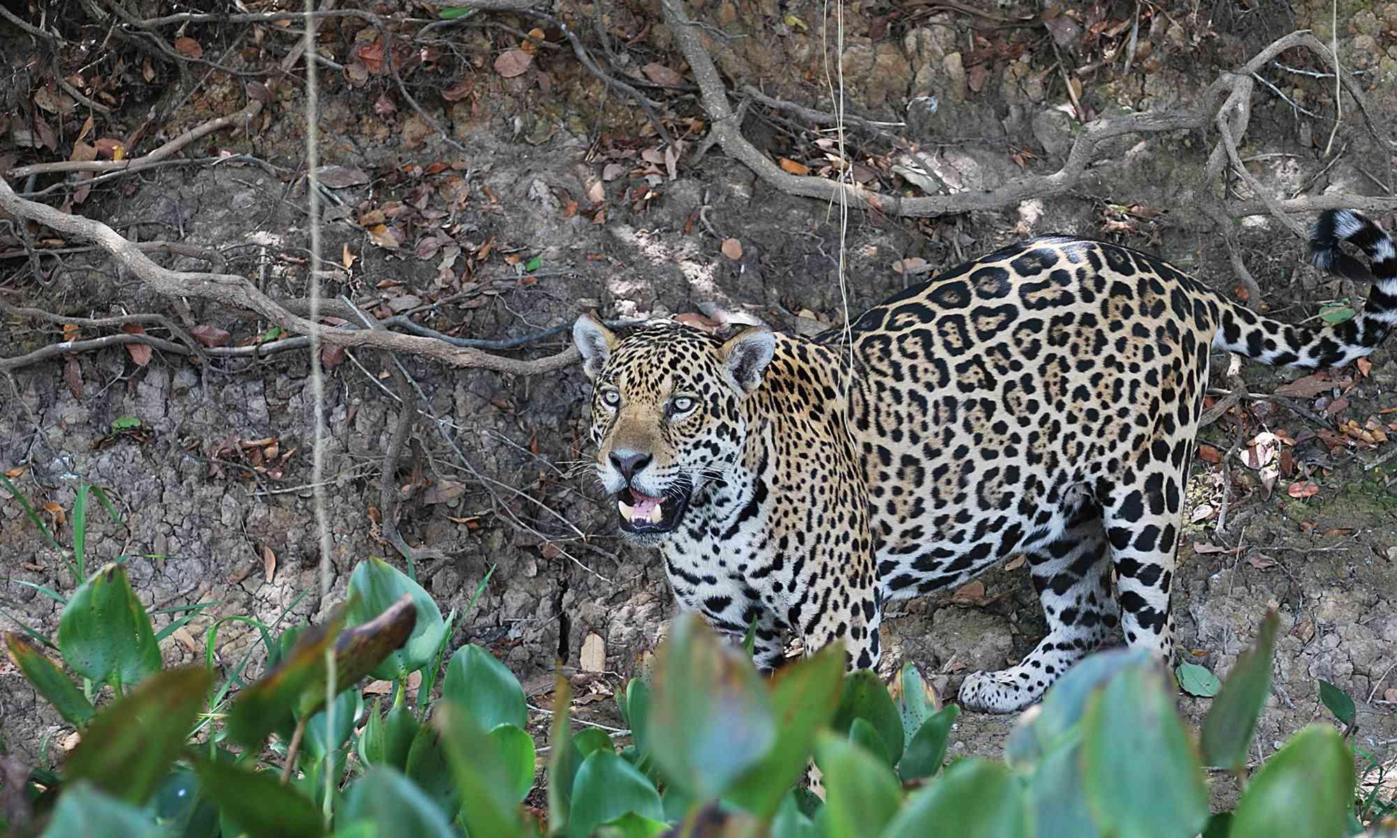 What Do Jaguars Eat >> Jaguar Defenders Of Wildlife
