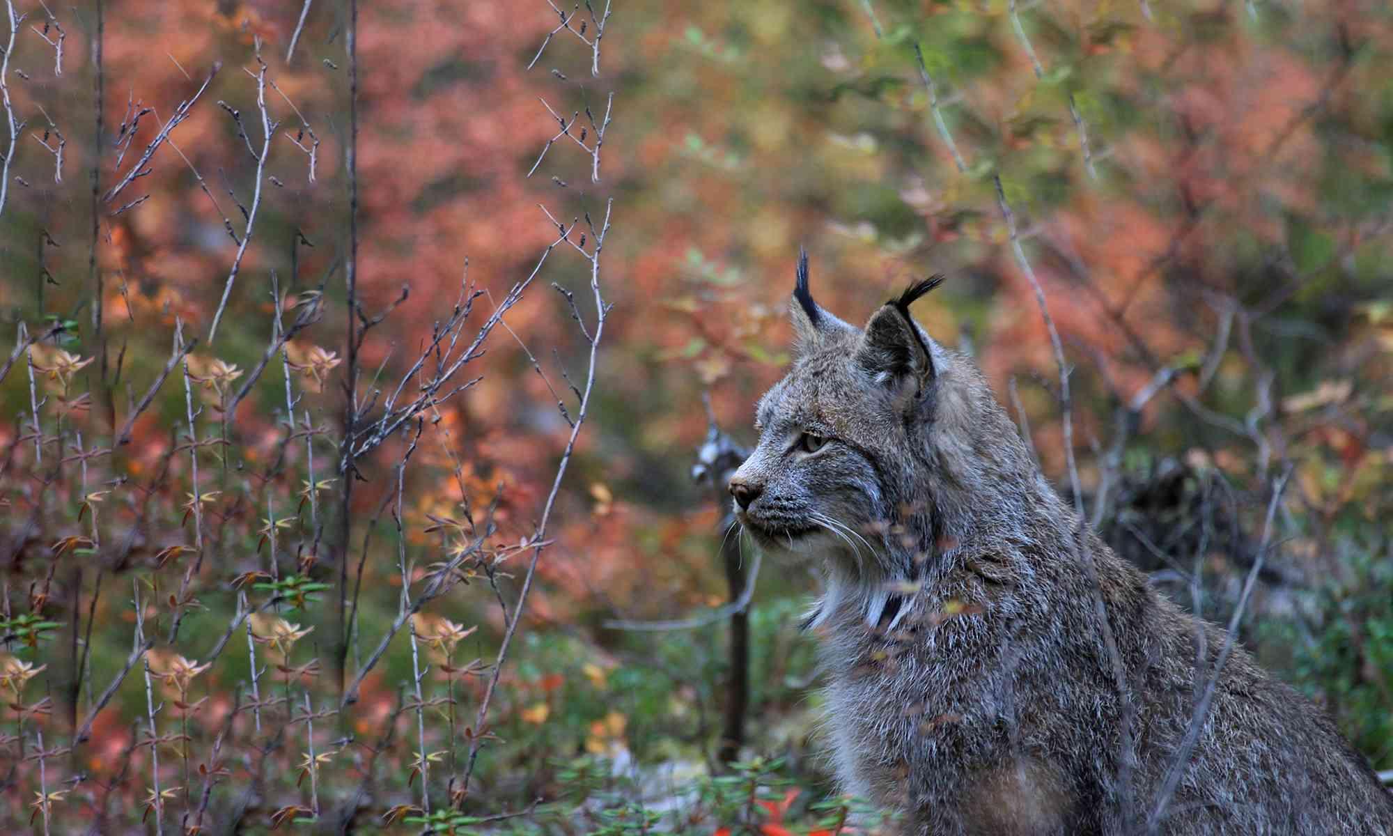Canada Lynx   Defenders of Wildlife