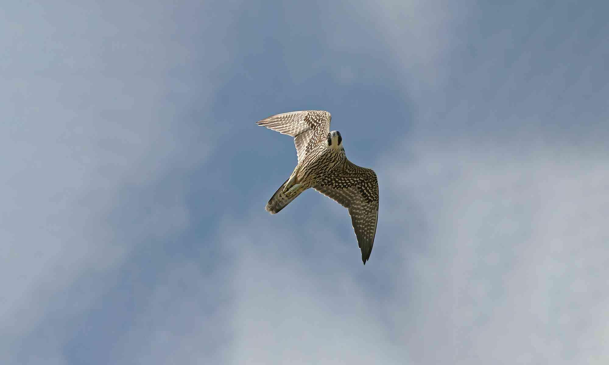 Peregrine Falcon | Defenders of Wildlife