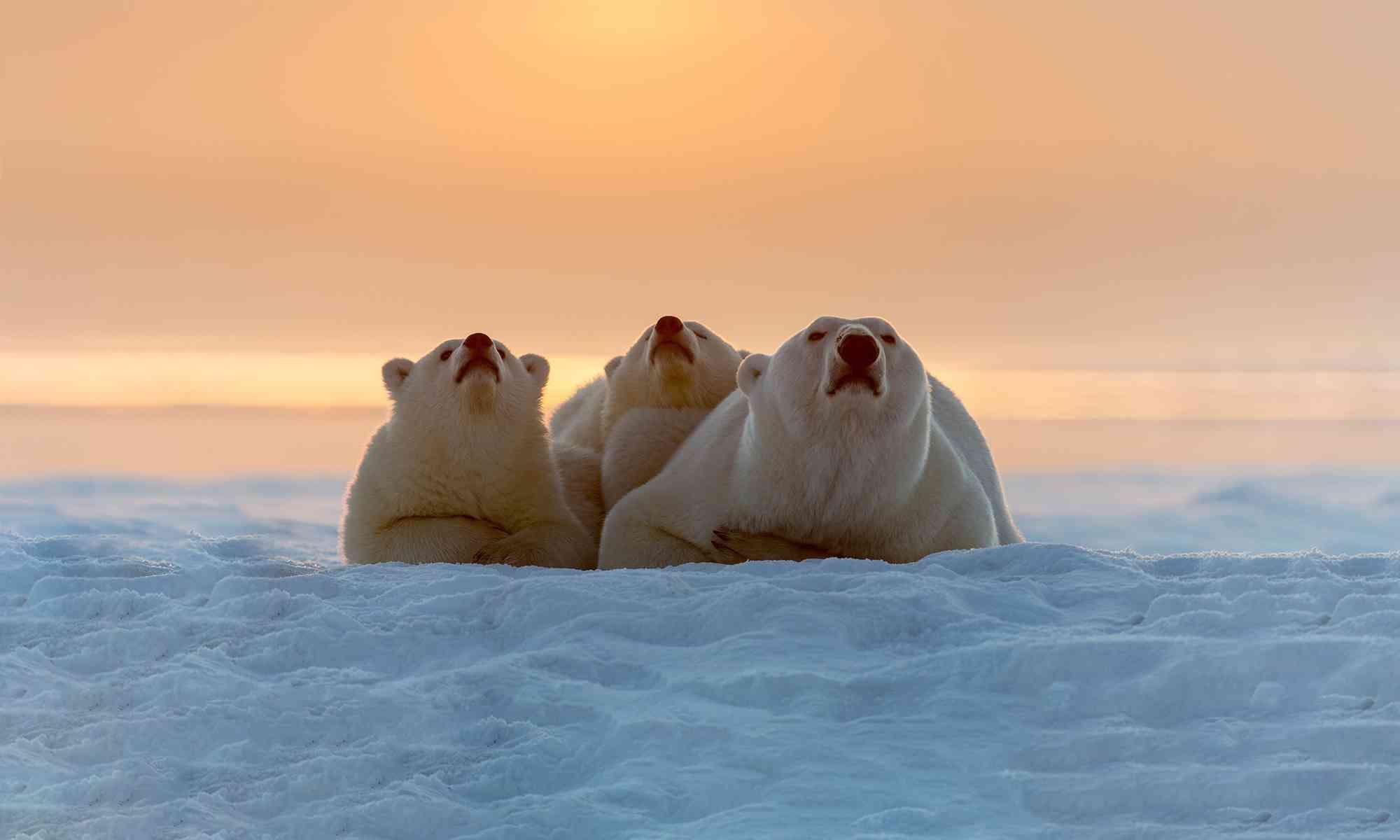 Polar Bear | Defenders of Wildlife on map of polar bear range, map of canada polar bear, where does a polar bear live, maps where brown bears live, spectacled bears live, where do polar bears live, where does the polar bear live, map of where kodiak bears live, polar bear camera live, where do squids live, how long can polar bears live, where does an aardvark live, map of polar bear habitat, map of younger dryas, how long do bears live, a map of where bears live, wear do polar bears live, description of where polar bears live, diagram of where polar bears live, map where black bears live,