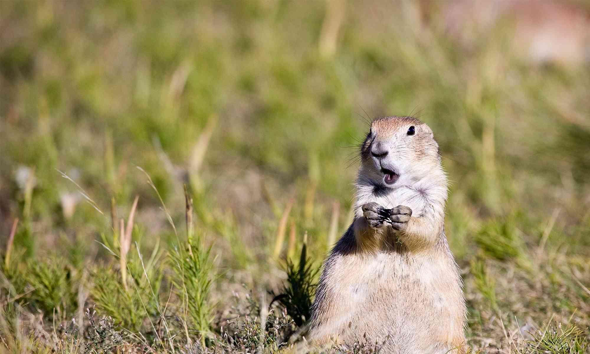 Prairie Dog | Defenders of Wildlife