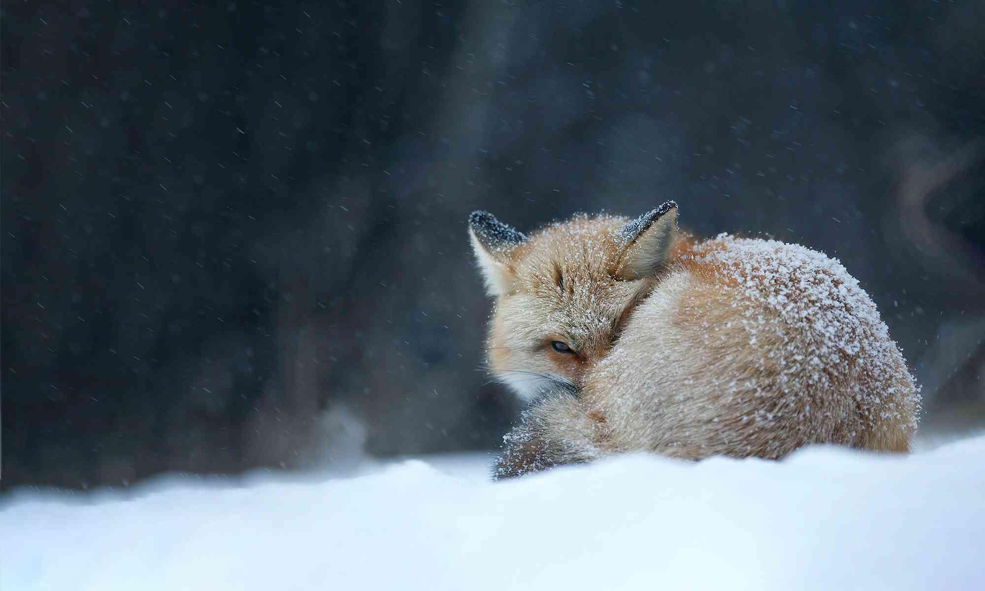 Foxes   Defenders of Wildlife