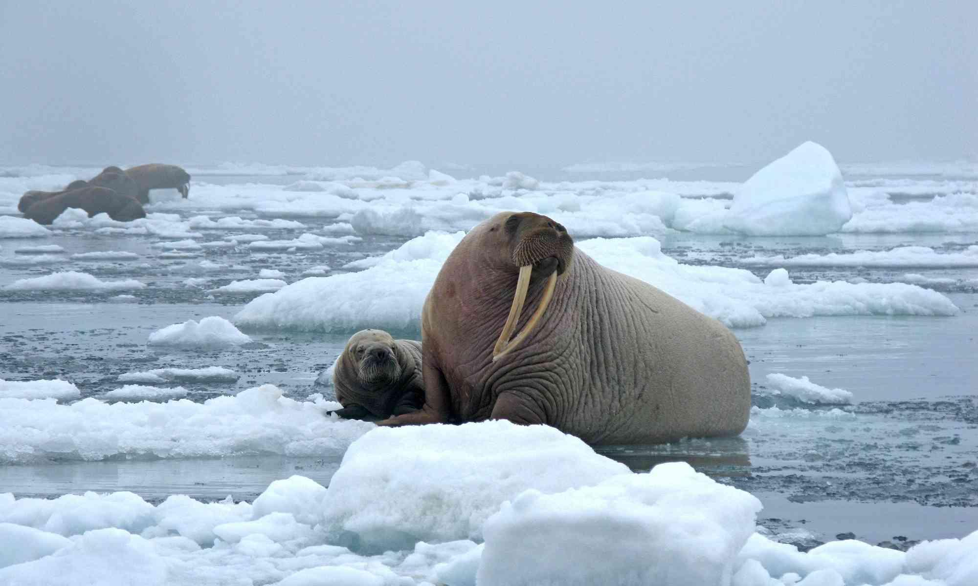 Pacific Walrus   Defenders of Wildlife