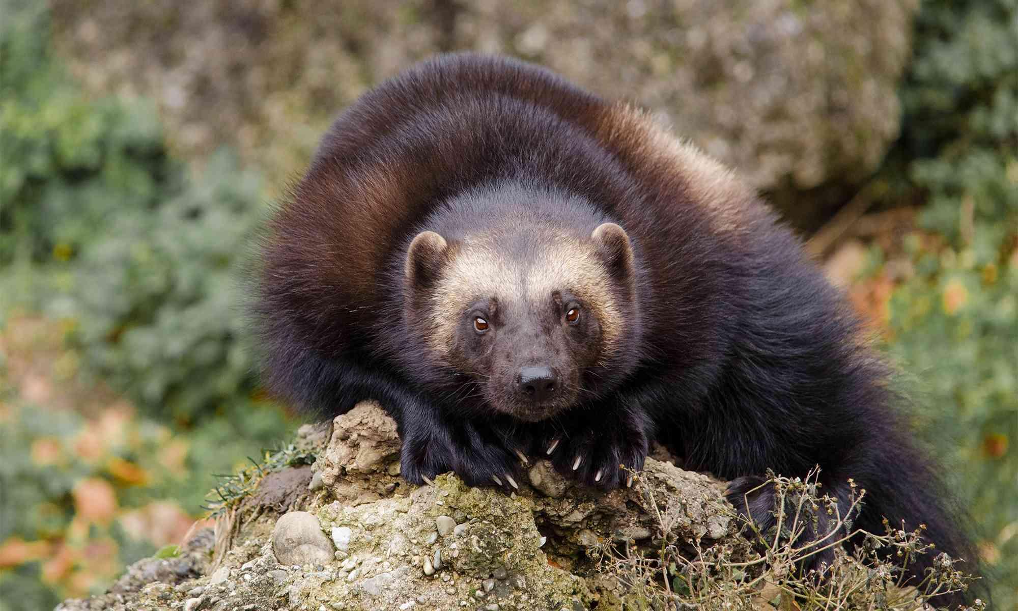 Wolverine Defenders Of Wildlife