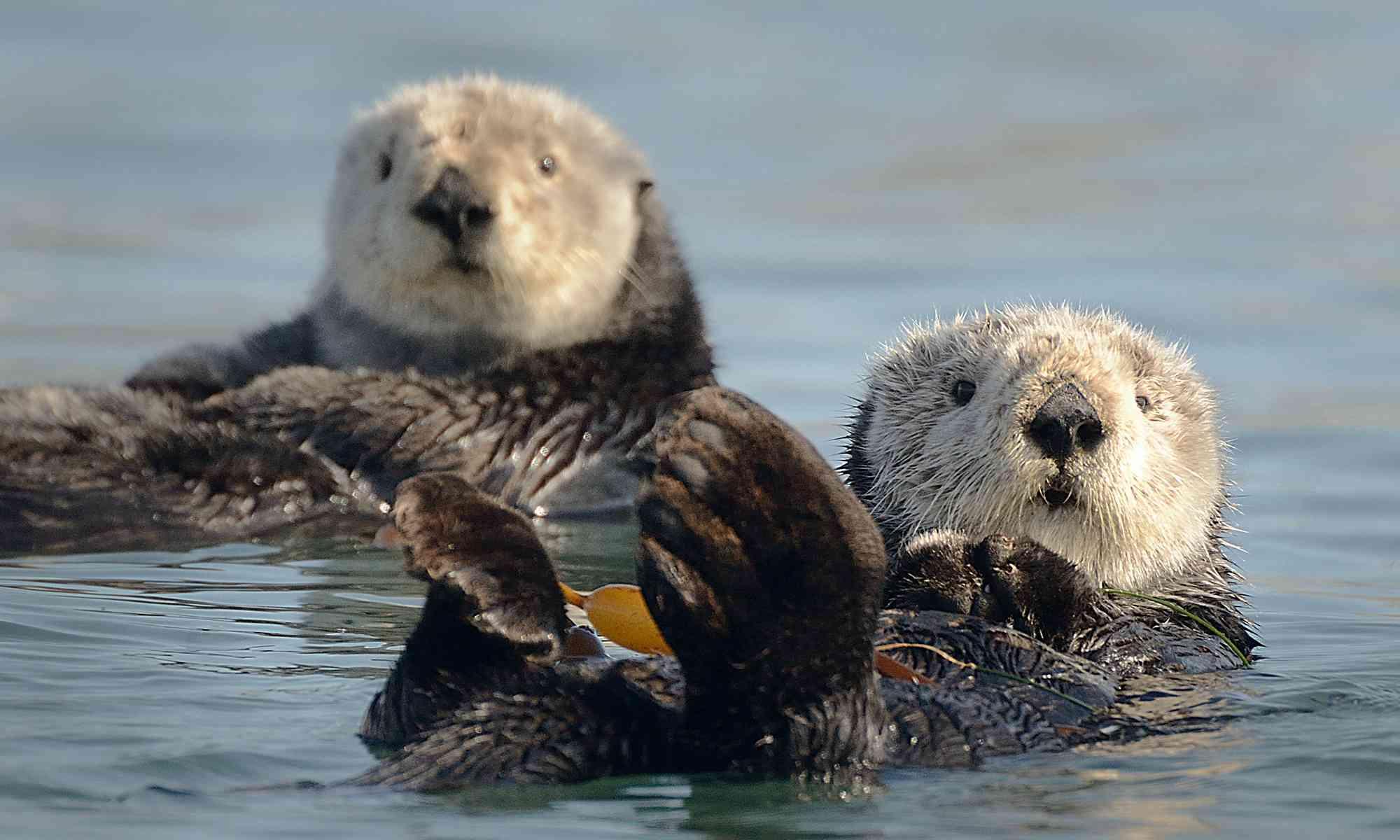 Sea Otter   Defenders of Wildlife