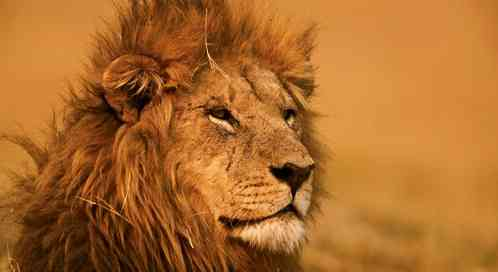 Can We Save Lions? | Defenders of Wildlife