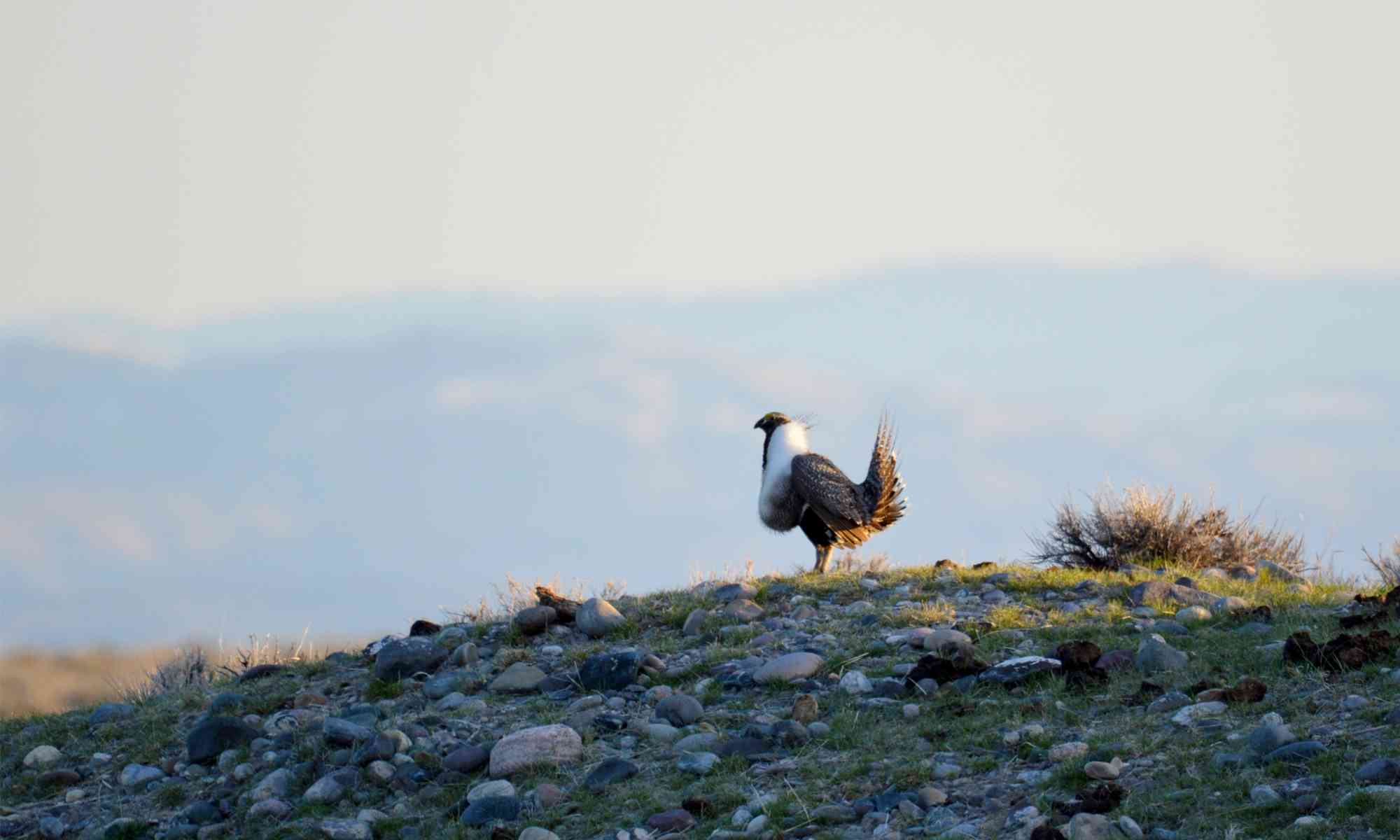 Sage-Grouse on a hill