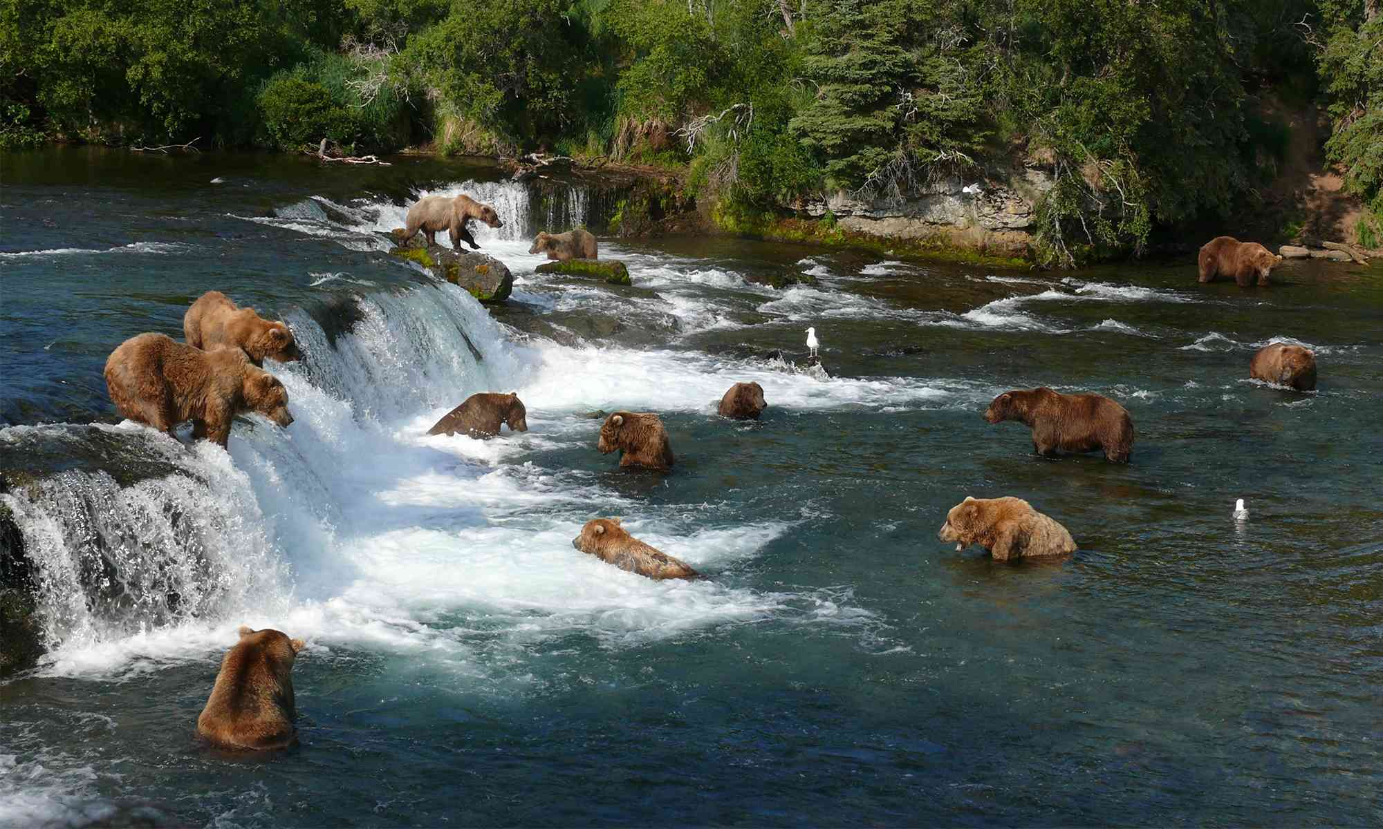 Grizzly bears fishing for salmon katmai national park in alaska