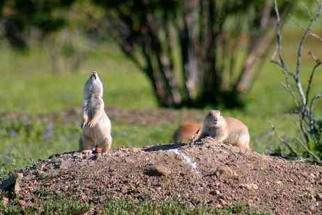 Black-tailed Prairie Dog on CMR NWR