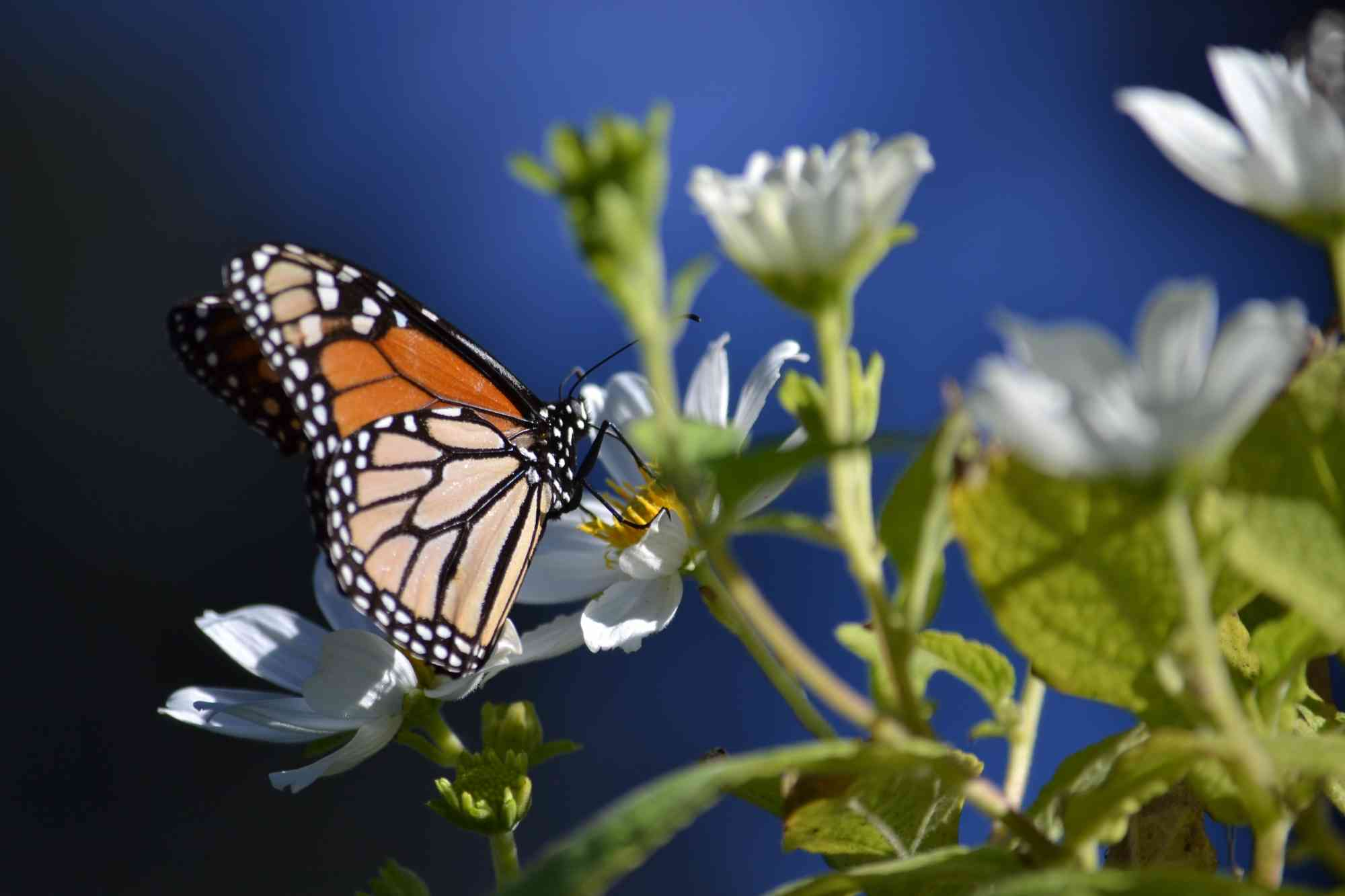 Monarch butterfly on white flower in California