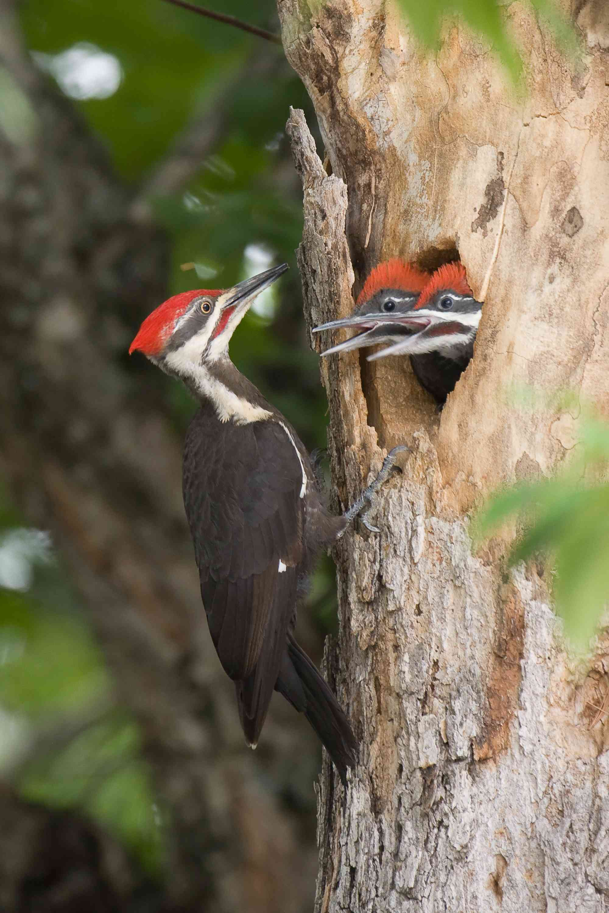 Pileated woodpecker family in a tree