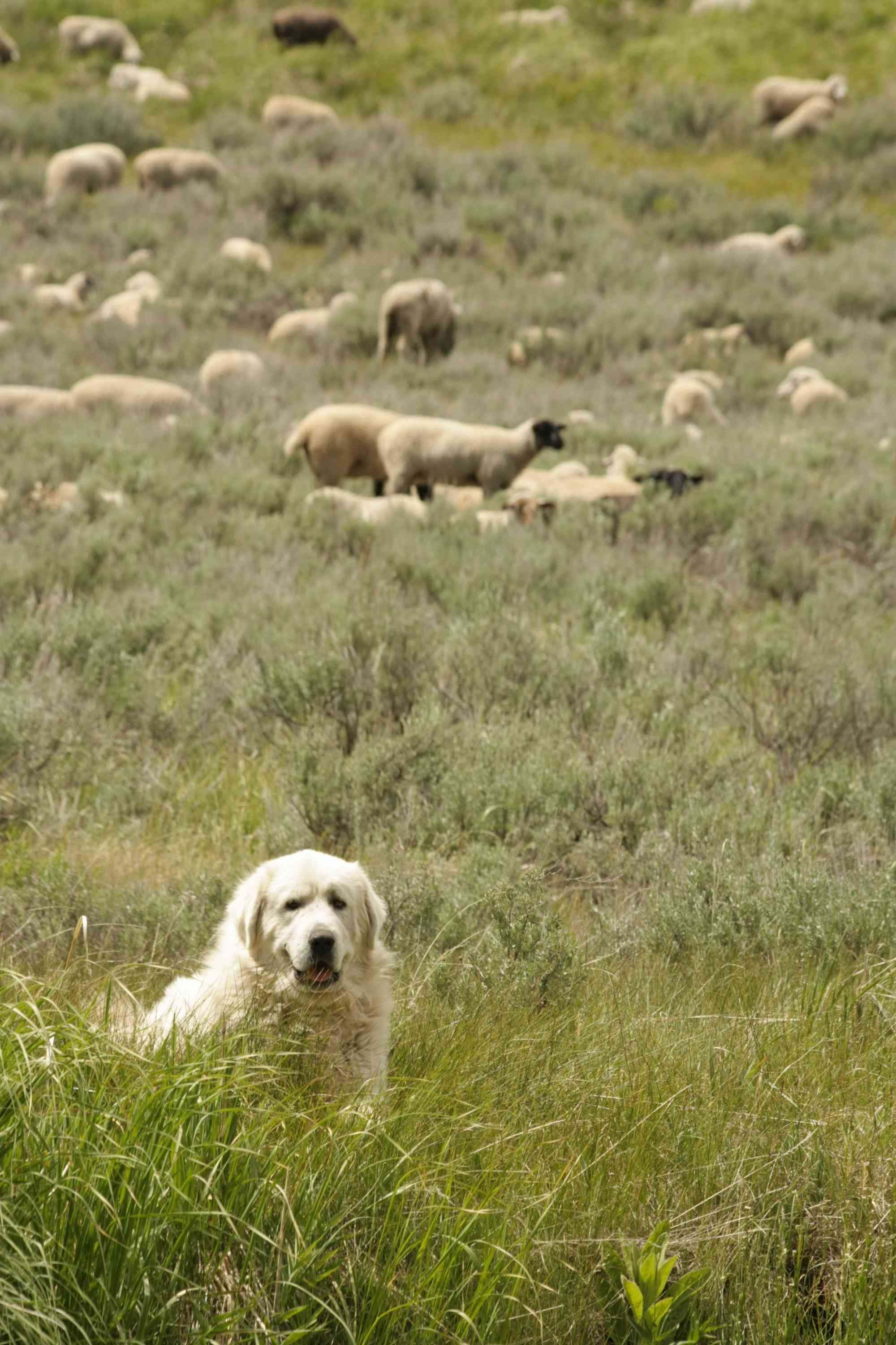 Wood River Guardian Dog with sheep in the background
