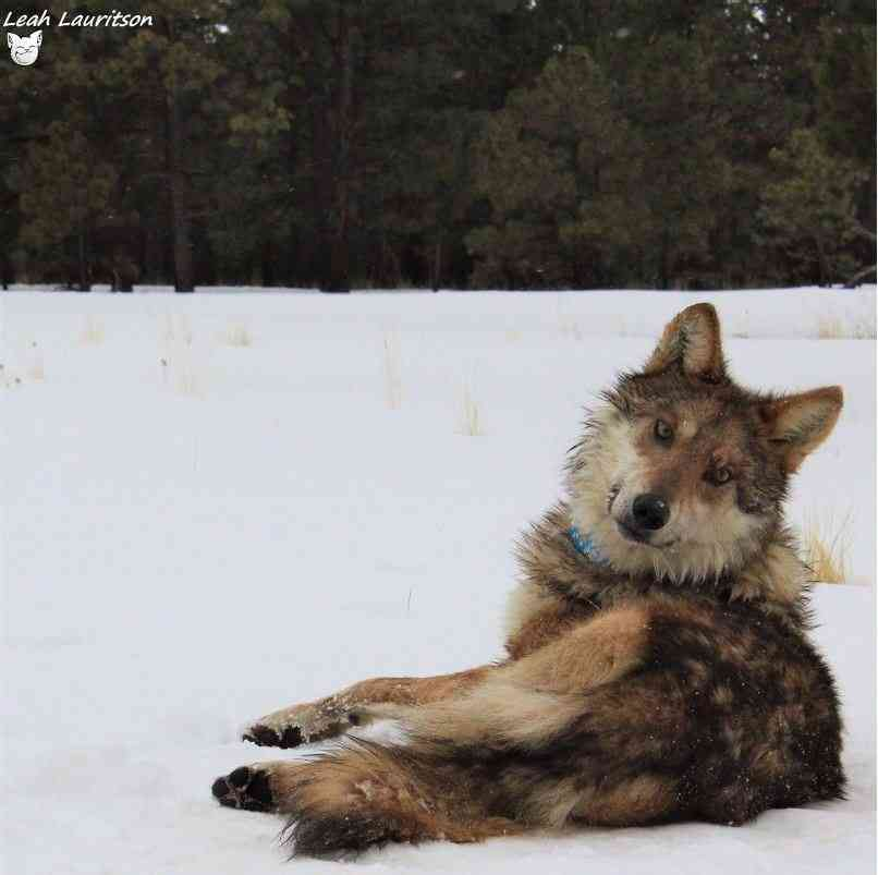 Mexican gray wolf blue collar