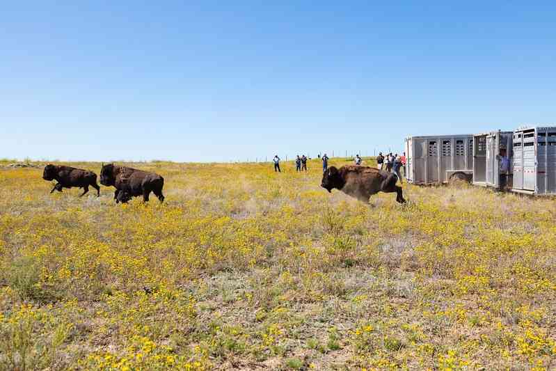 Yellowstone bison released at Ft. Peck Reservation